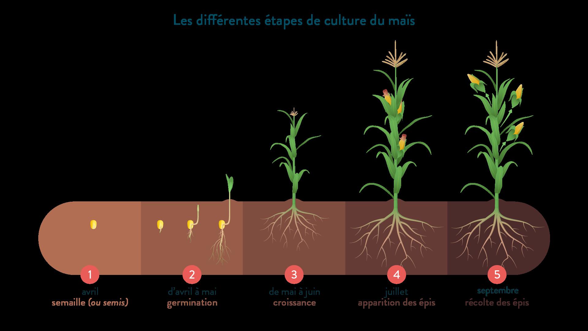 Les différentes étapes de culture du maïs