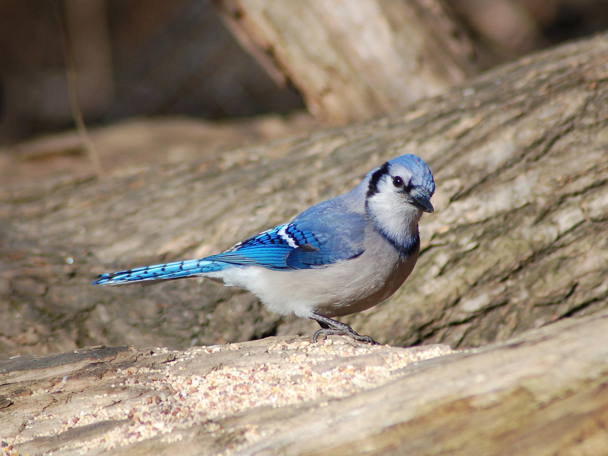 geai bleu Central Park oiseau