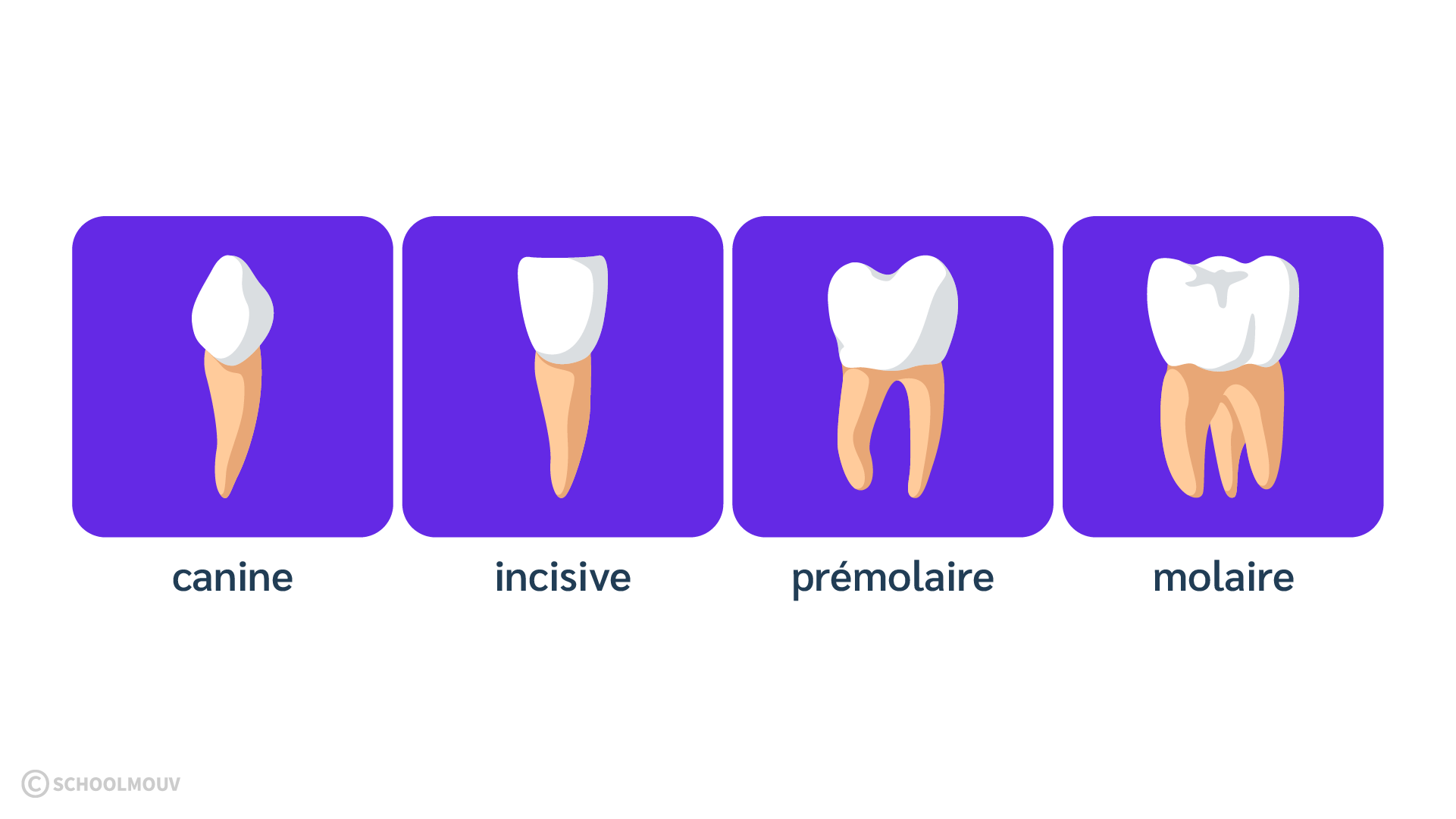 Dents - Bouche - Dentition - Canine - Incisive - Molaire - Prémolaire - SchoolMouv - Sciences - CE1