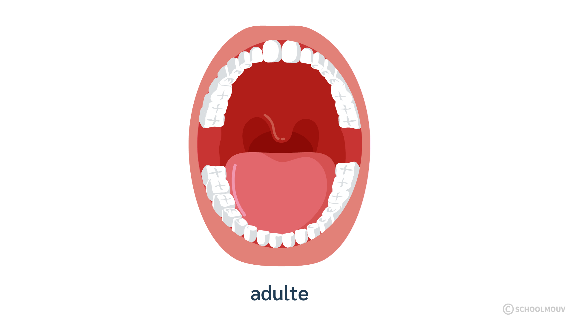 Bouche ouverte - Dents - Adulte - Dentition - Position des dents - SchoolMouv - Sciences - CE1