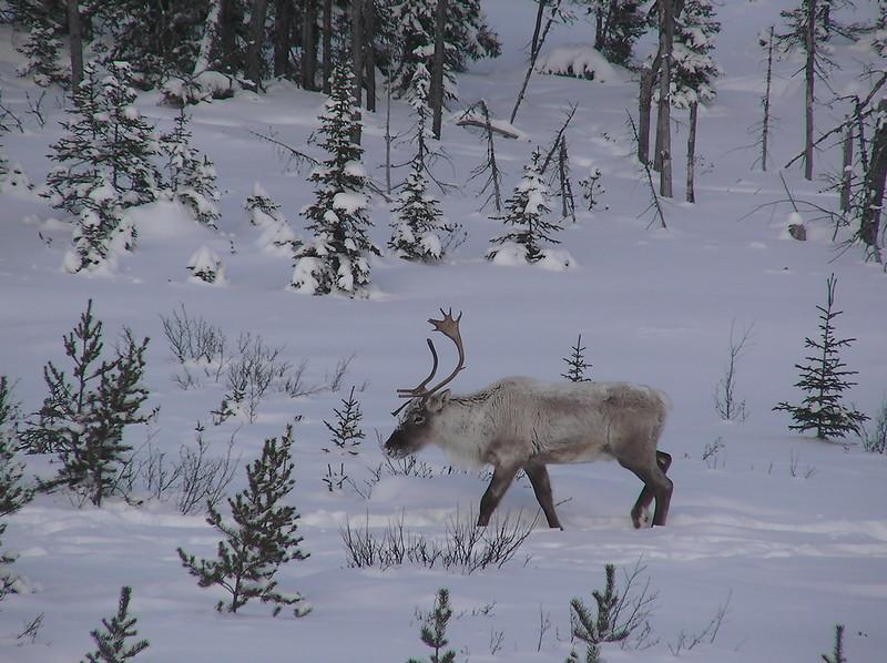 primaire questionner le monde géographie ce2 comparer les modes de vie caribou