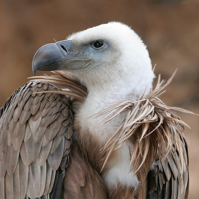 Vautour - Oiseau - Charognard - Animal - SchoolMouv - Sciences - CE2