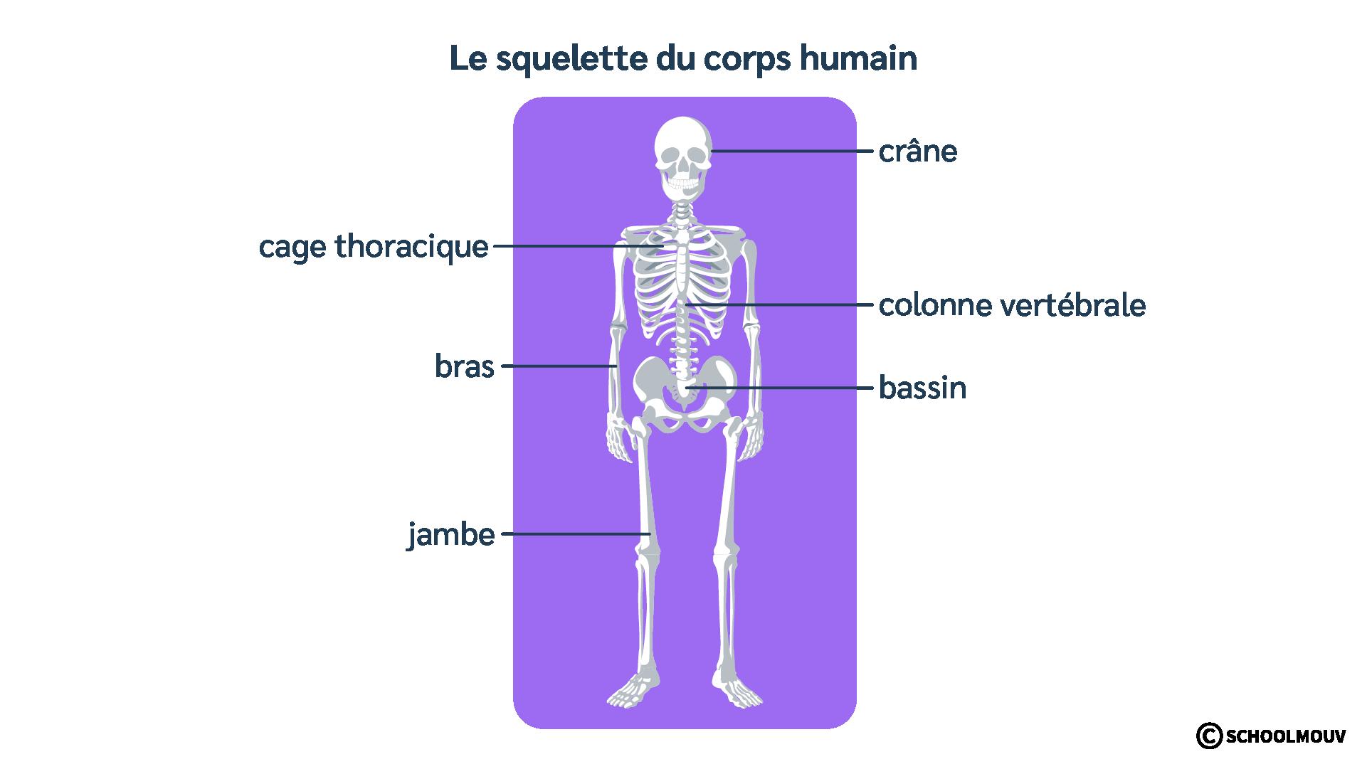 Squelette du corps humain - Os - Schéma - SchoolMouv - Sciences - CE2