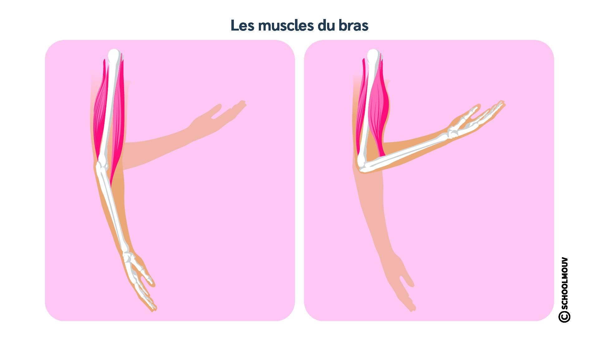Muscles - Bras - Biceps - Triceps - Os - SchoolMouv - Sciences - CE2