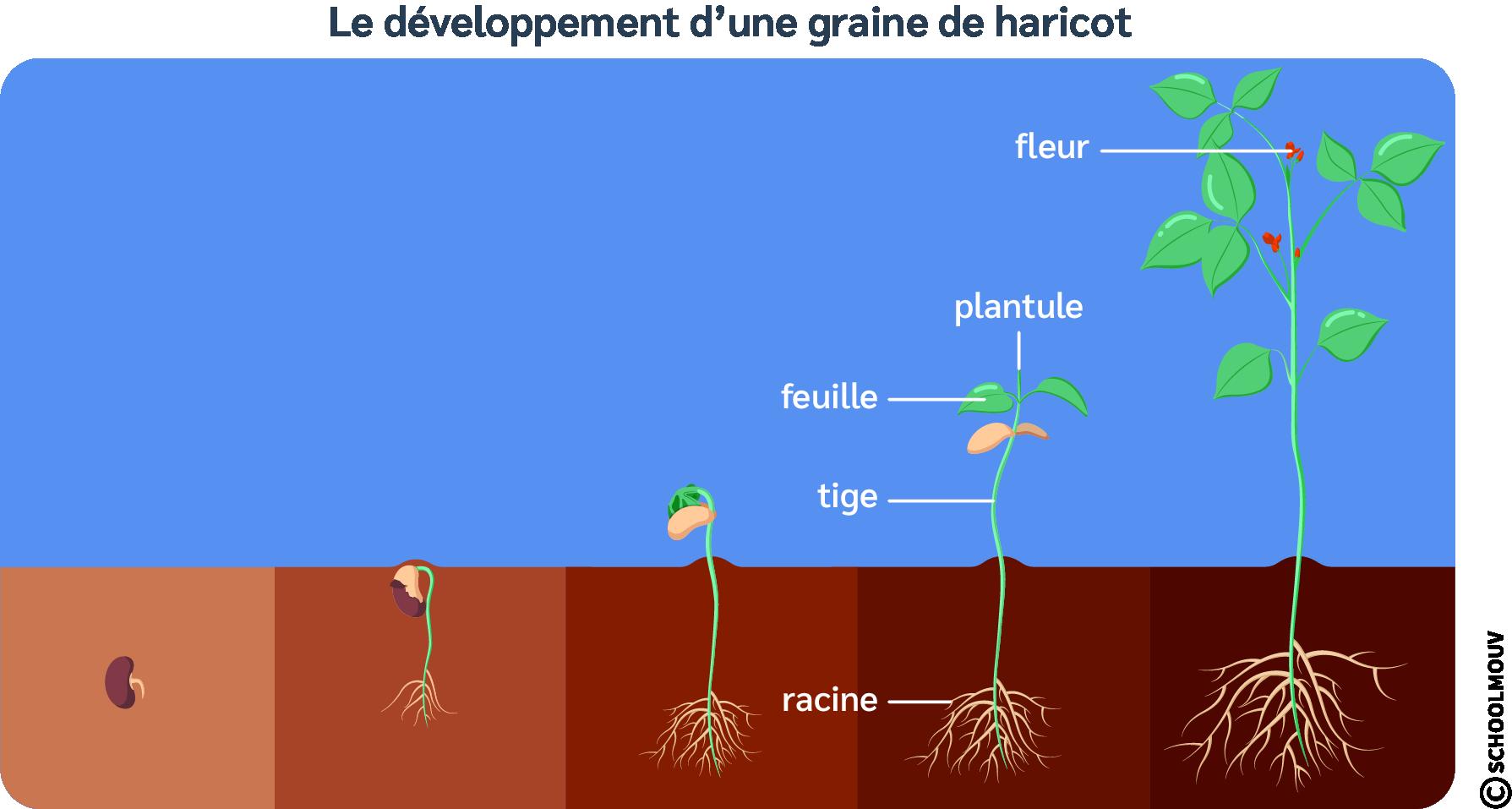 Graine haricot - Schéma - Développement - Cycle - Plantule - Tige - Feuilles - Racines - Enveloppe - Réserves - SchoolMouv - Sciences - CM1