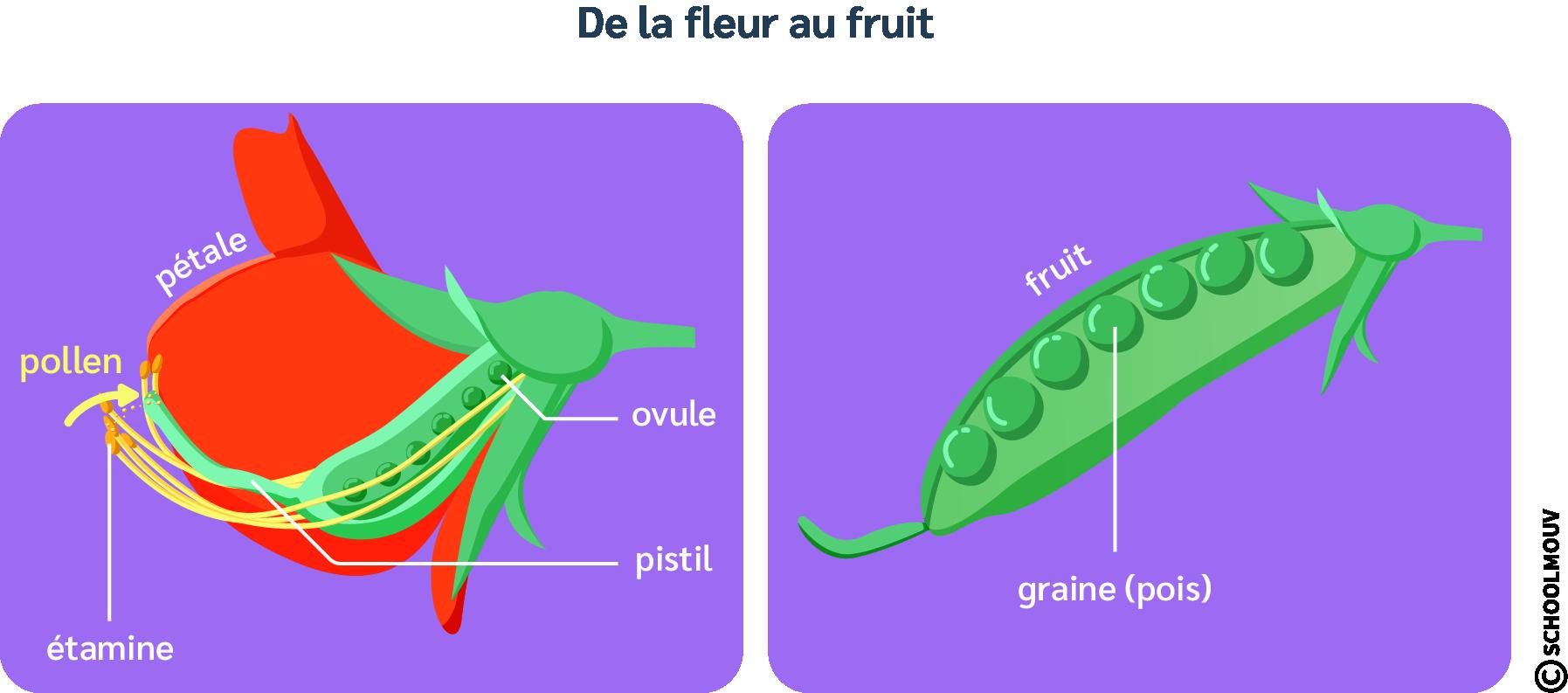 Développement - Fleur - Graine - Pétale - Pistil - Étamine - Pollen - SchoolMouv - Sciences - CM1