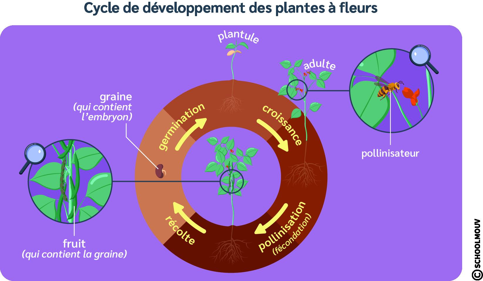 Développement des plantes à fleurs - Schéma - Cycle - SchoolMouv - Sciences - CM1