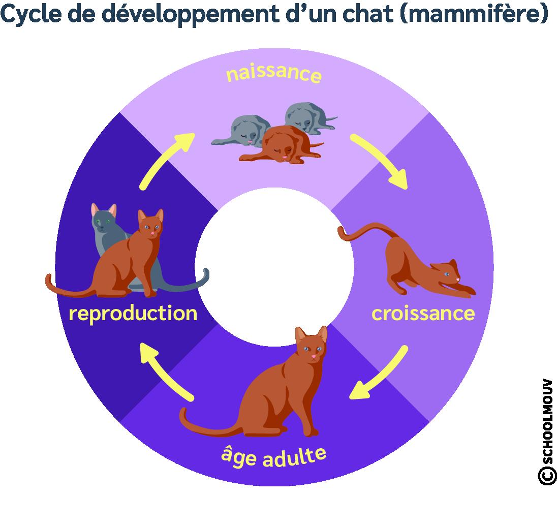 Développement du chat - Reproduction - Croissance - Âge adulte - Naissance - Chat - Mammifère - SchoolMouv - Sciences - CM1