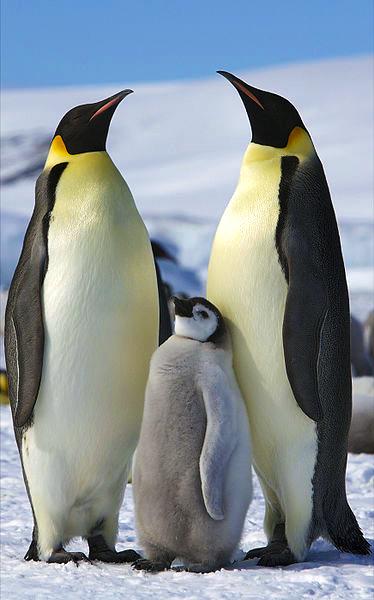 Manchot - Pingouin - Banquise - Polaire - Pôle - Antarctique - Arctique - SchoolMouv - Sciences - CM1