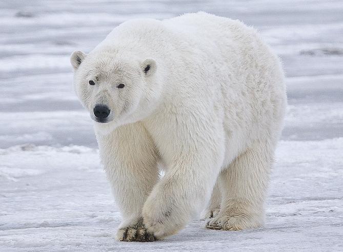 Ours polaire - Prédateur - Pôle - Arctique - Antarctique - Ours blanc - Graisse - SchoolMouv - Sciences - CM1