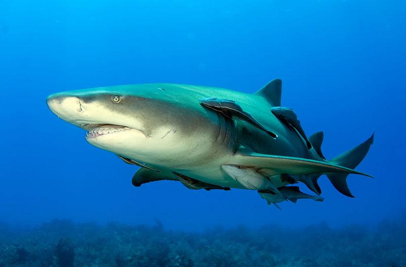 Rémora - Poisson - Requin - Parasite - Nettoyeur - Symbiose - Mer - Branchies - SchoolMouv - Sciences - CM1