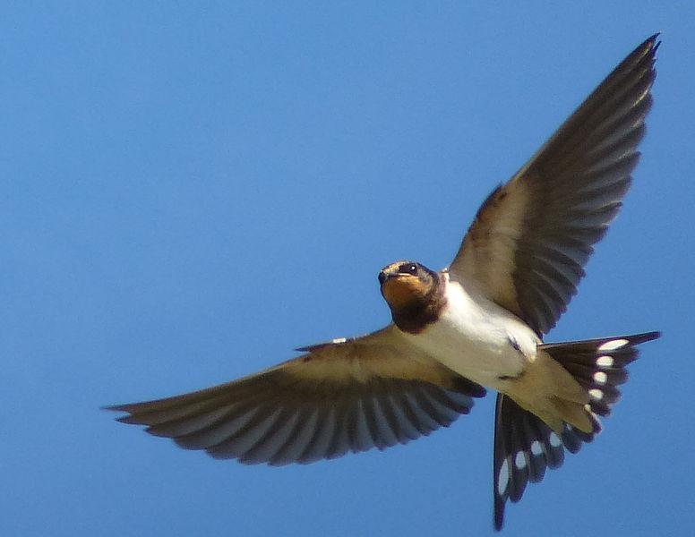 Hirondelle - Oiseau - Migration - Vol - Afrique - Printemps - Plumes - SchoolMouv - Sciences - CM1