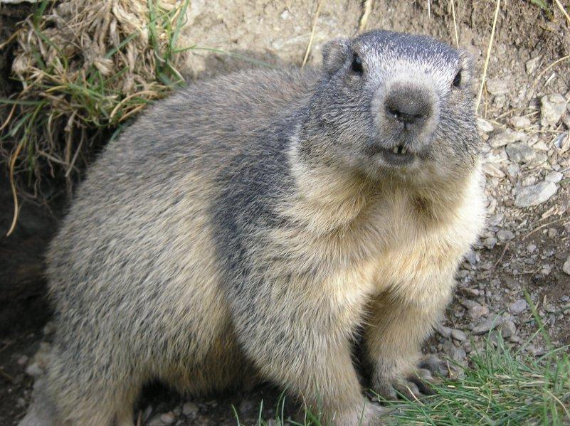 Marmotte - Mammifère - Montagne - Terrier - Hibernation - Hiver - Printemps - SchoolMouv - Sciences - CM1