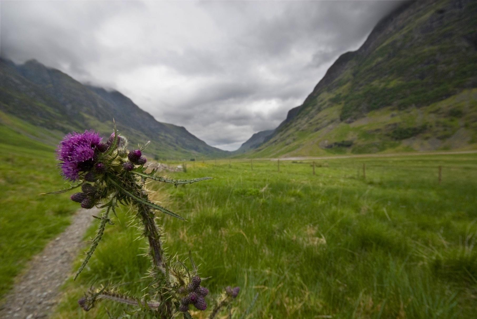 chardon Écosse emblème