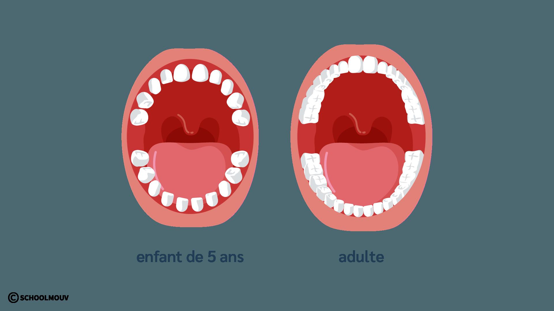 Bouche - Dents - Enfant - Adulte - Dentition - SchoolMouv - Sciences - CP