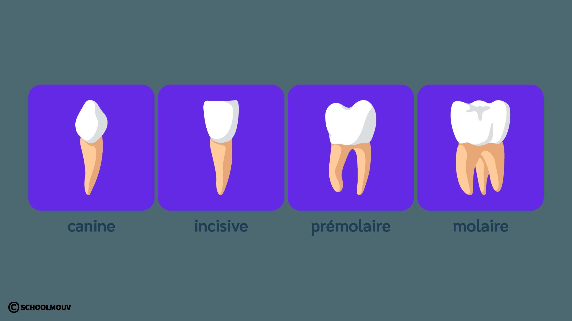 Dents - Incisive - Canine - Molaire - Prémolaire - Dentition - SchoolMouv - Sciences - CP