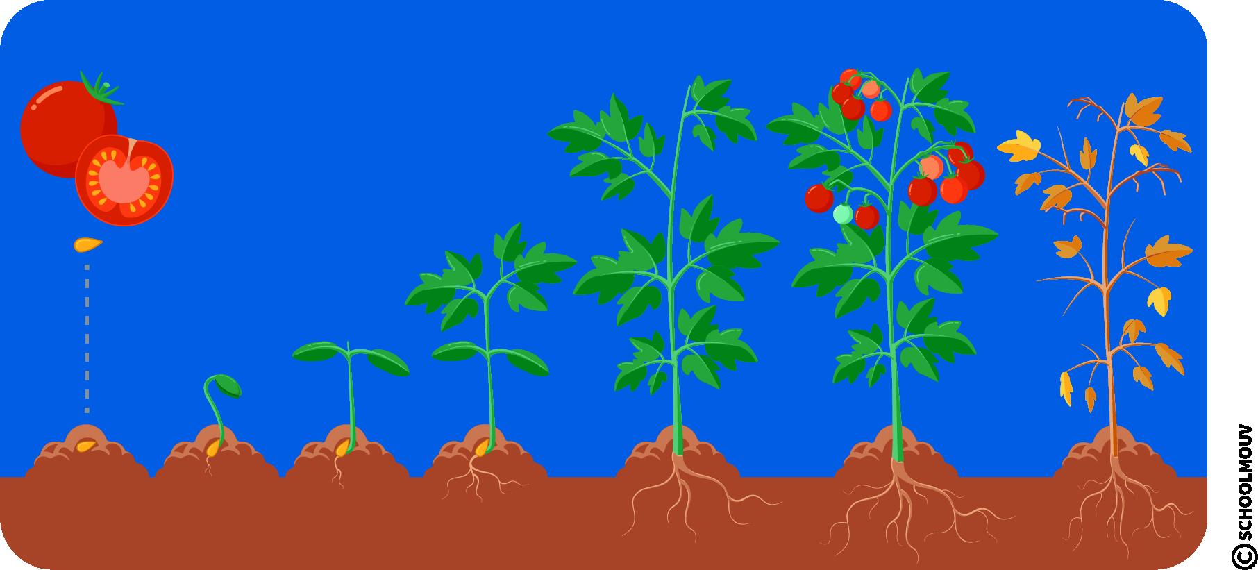 Cycle de la vie - Plante - Fruit - Graine - Pousse - Feuilles - Racines - SchoolMouv - Sciences - CP