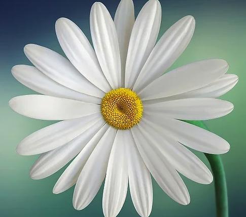 Fleur - Marguerite - Pétales - Blanc - SchoolMouv - Sciences - CP