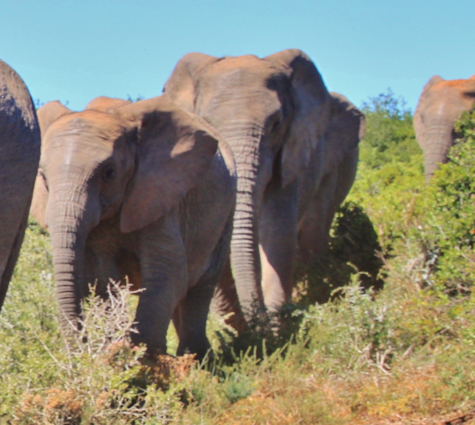 sélection naturelle éléphant