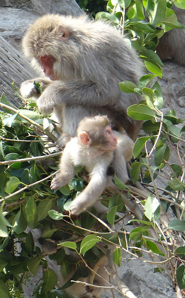 macaque japonais apprentissage tranmission empreinte