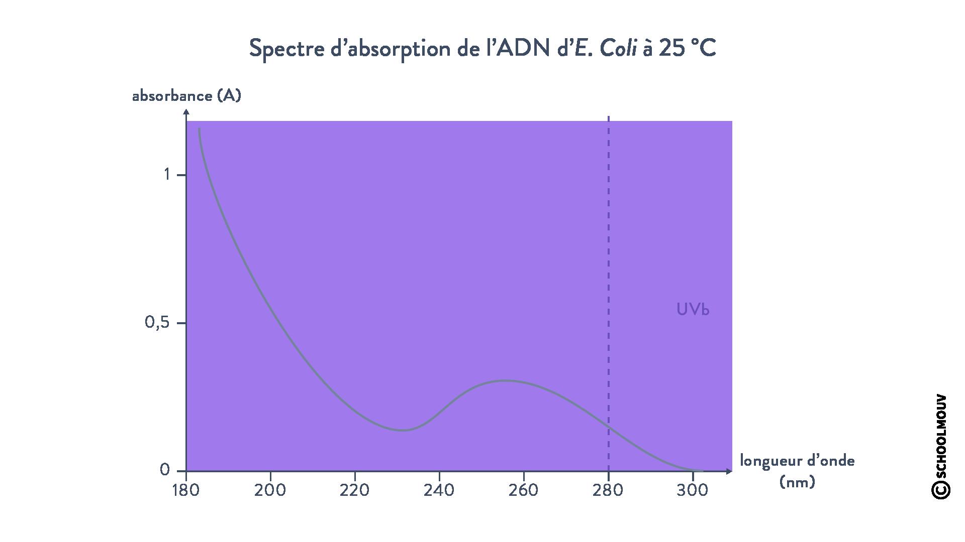 Spectre d'absorption de l'ADN d'E. coli