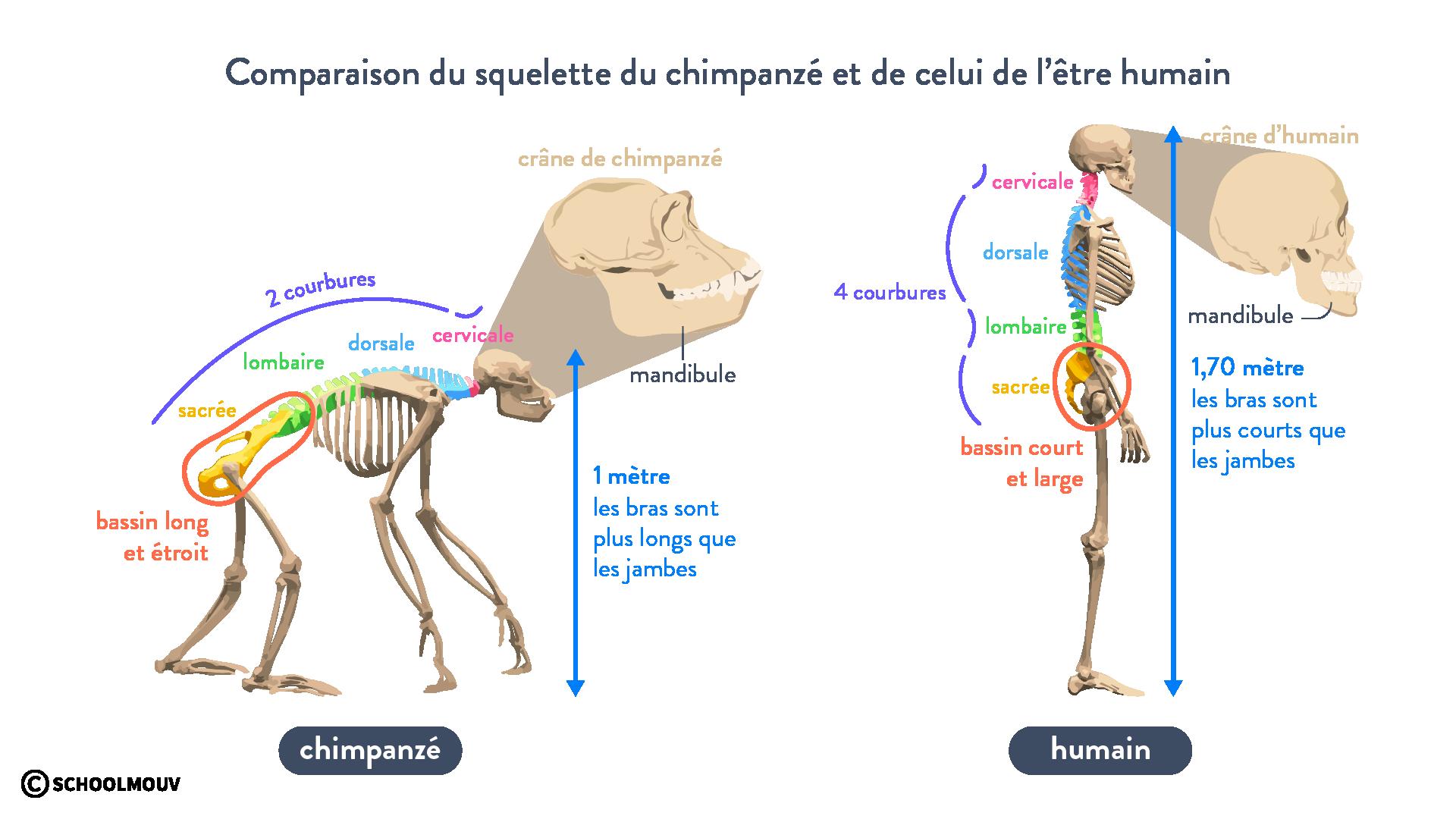 squelette être humain chimpanzé hominisation