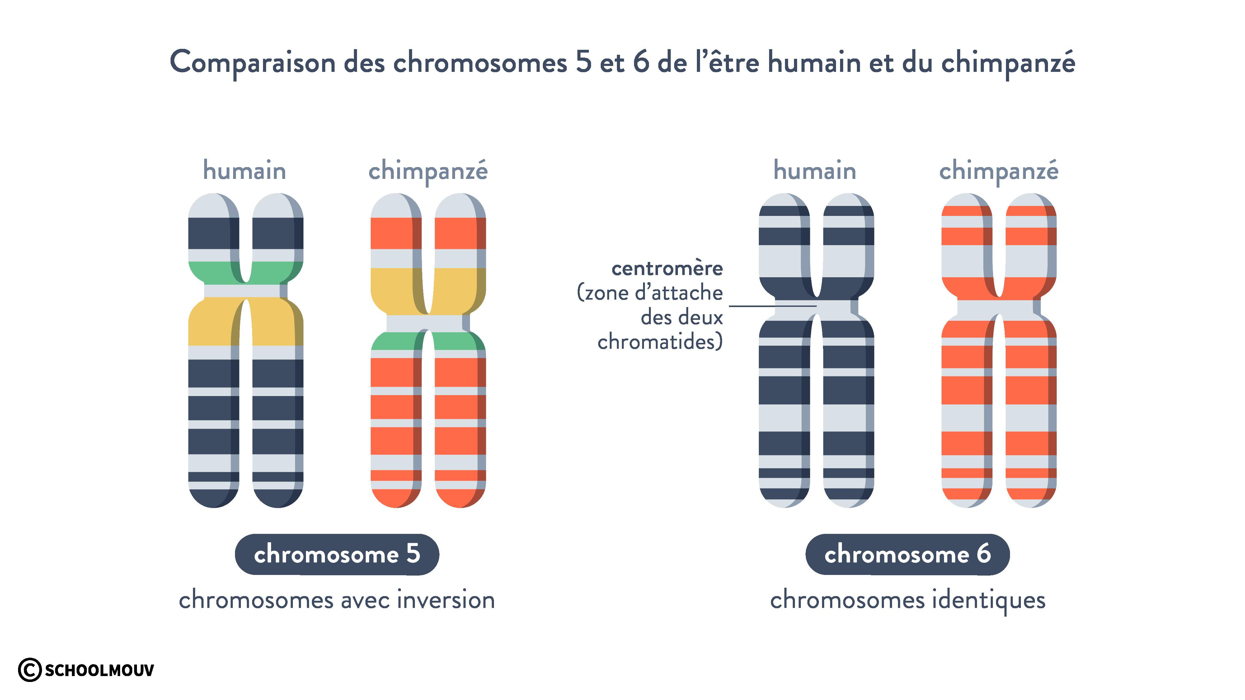 comparaison chromosomes être humain chimpanzé