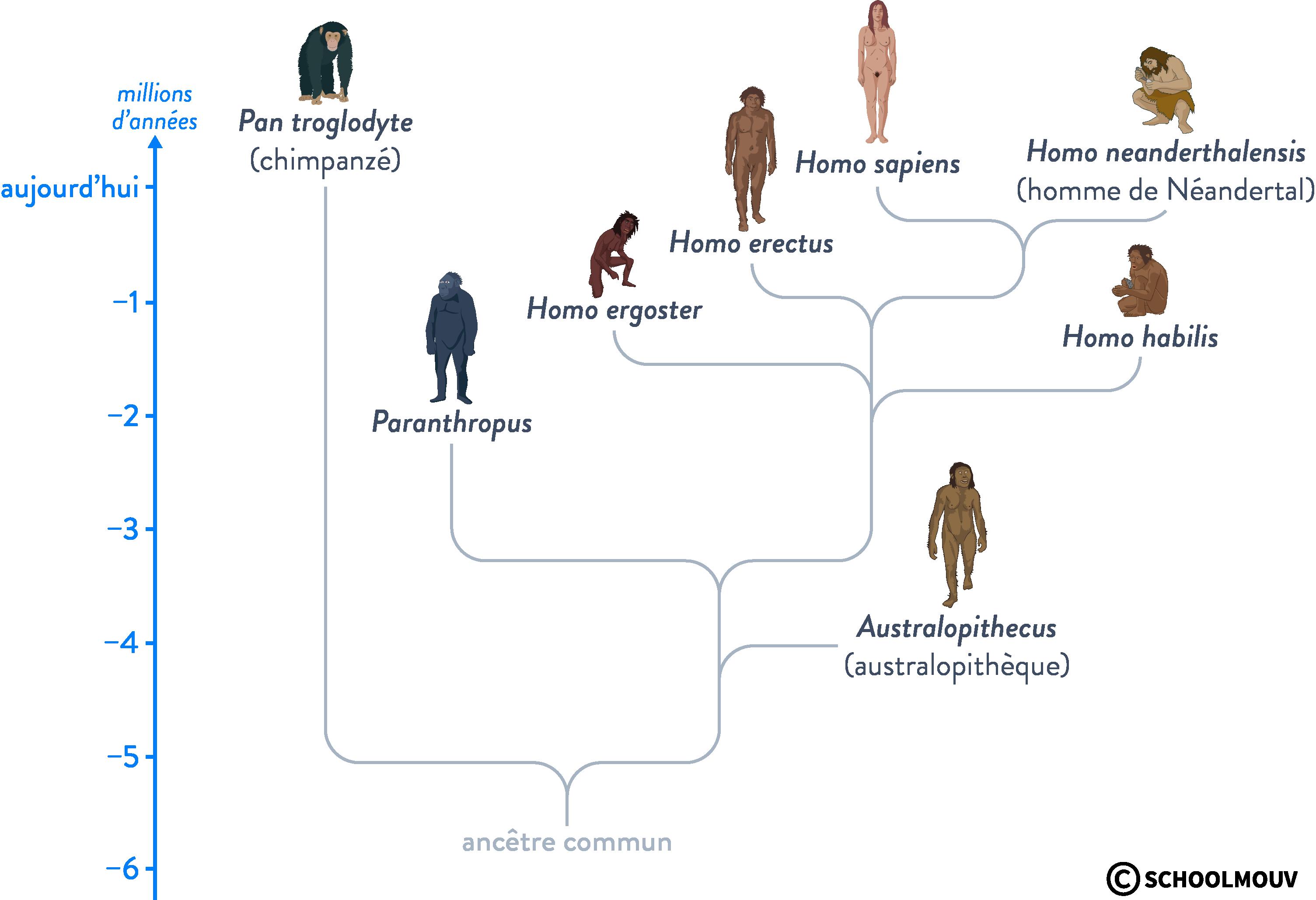 ligné humaine évolution