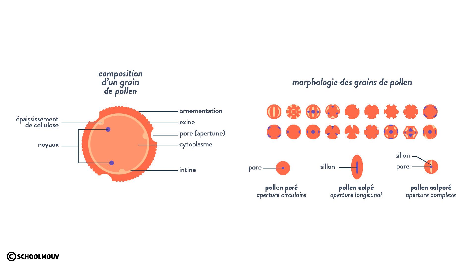 Schéma grain de pollen et morphologies