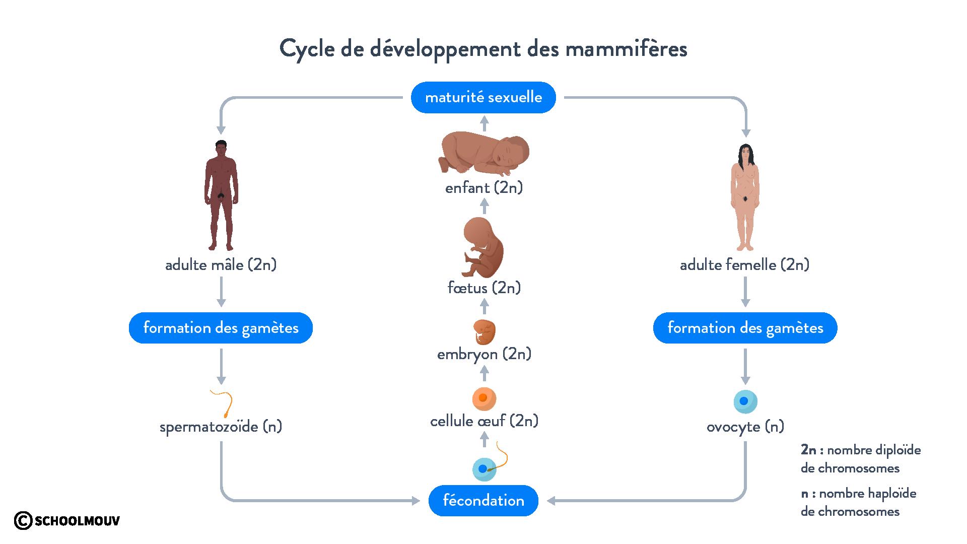 Cycle de développement des mammifères fécondation gamètes
