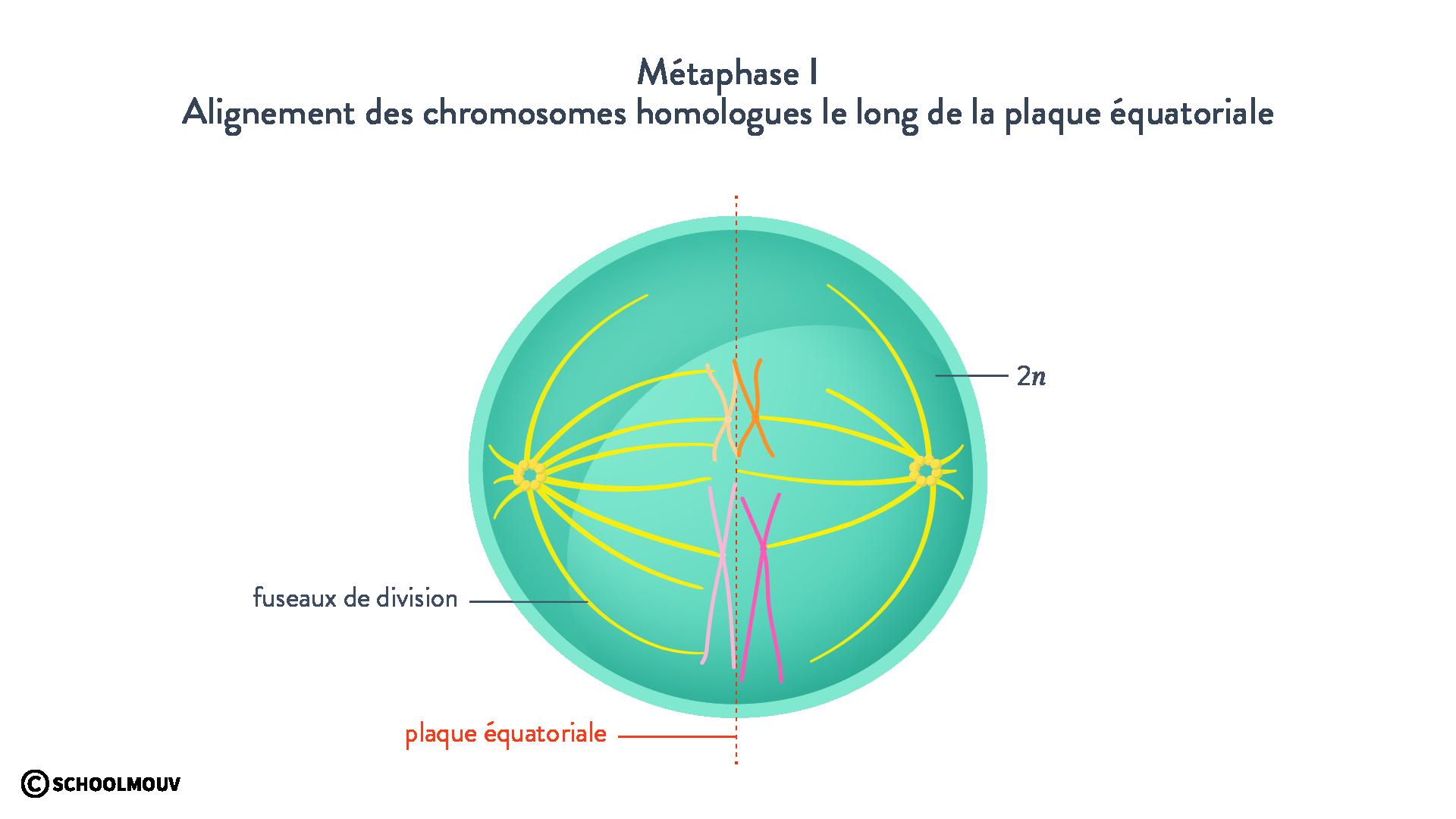 Métaphase I méiose