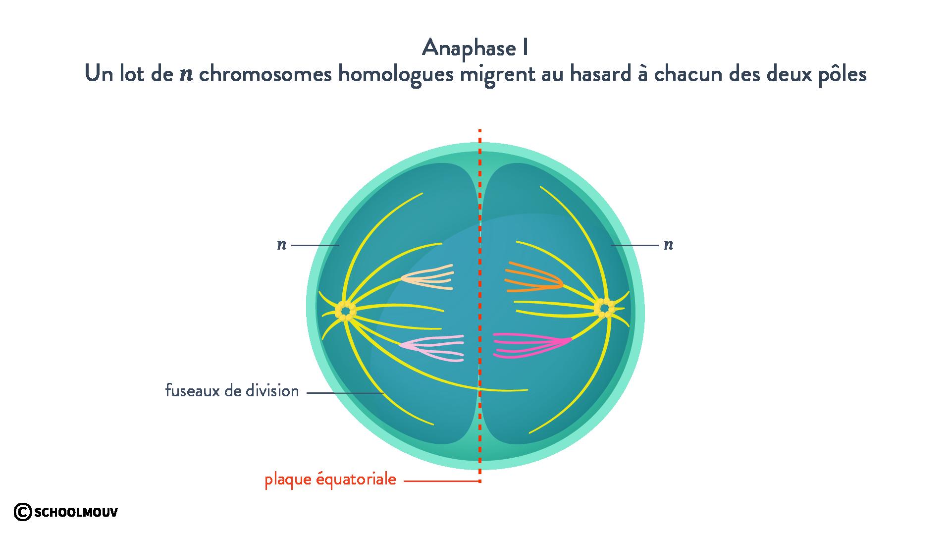 Anaphase I méiose