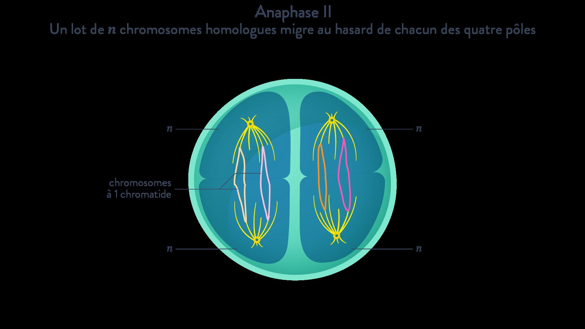Prophase Métaphase II méiose