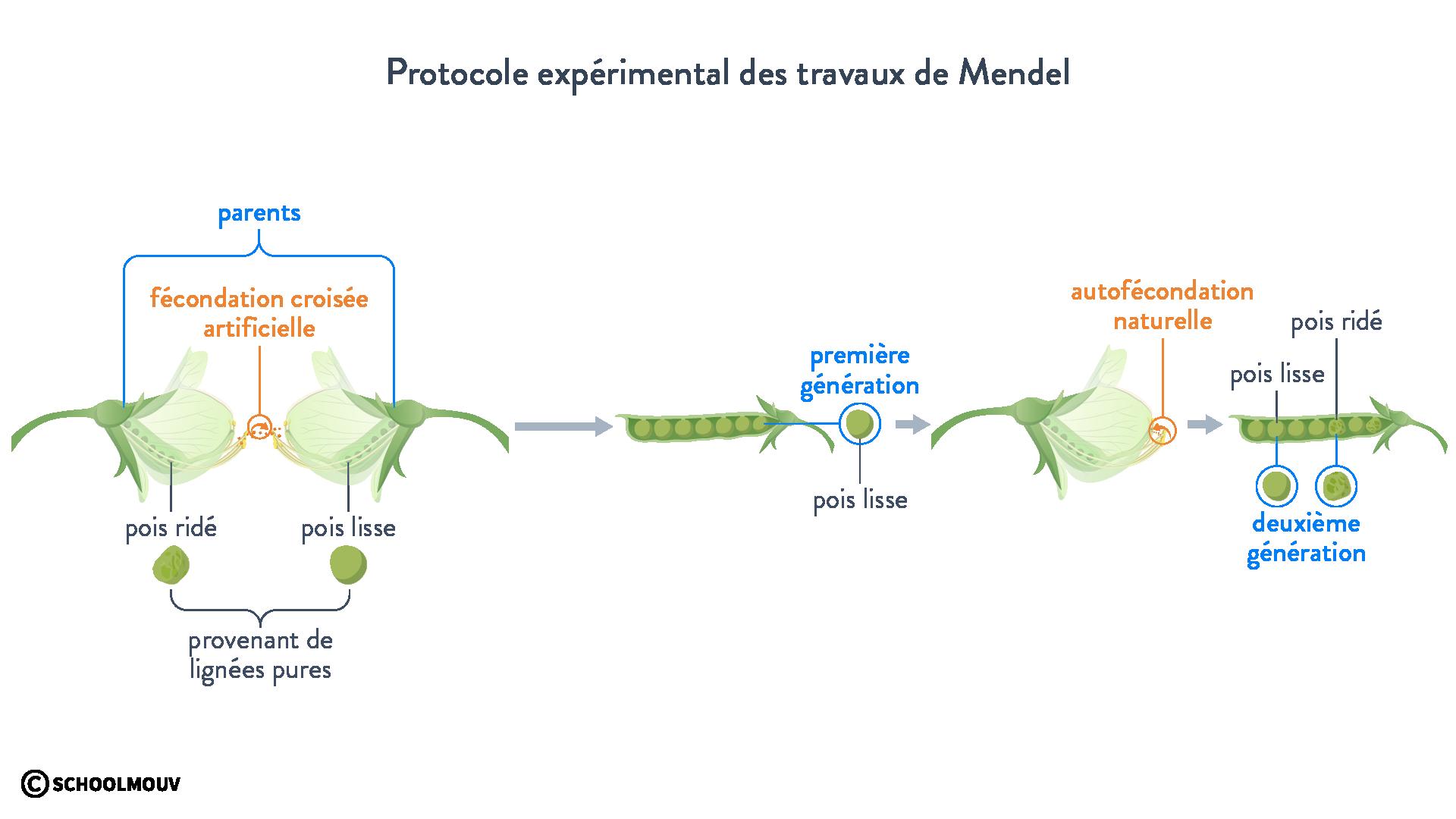 Protocole expérimental des travaux de Mendel
