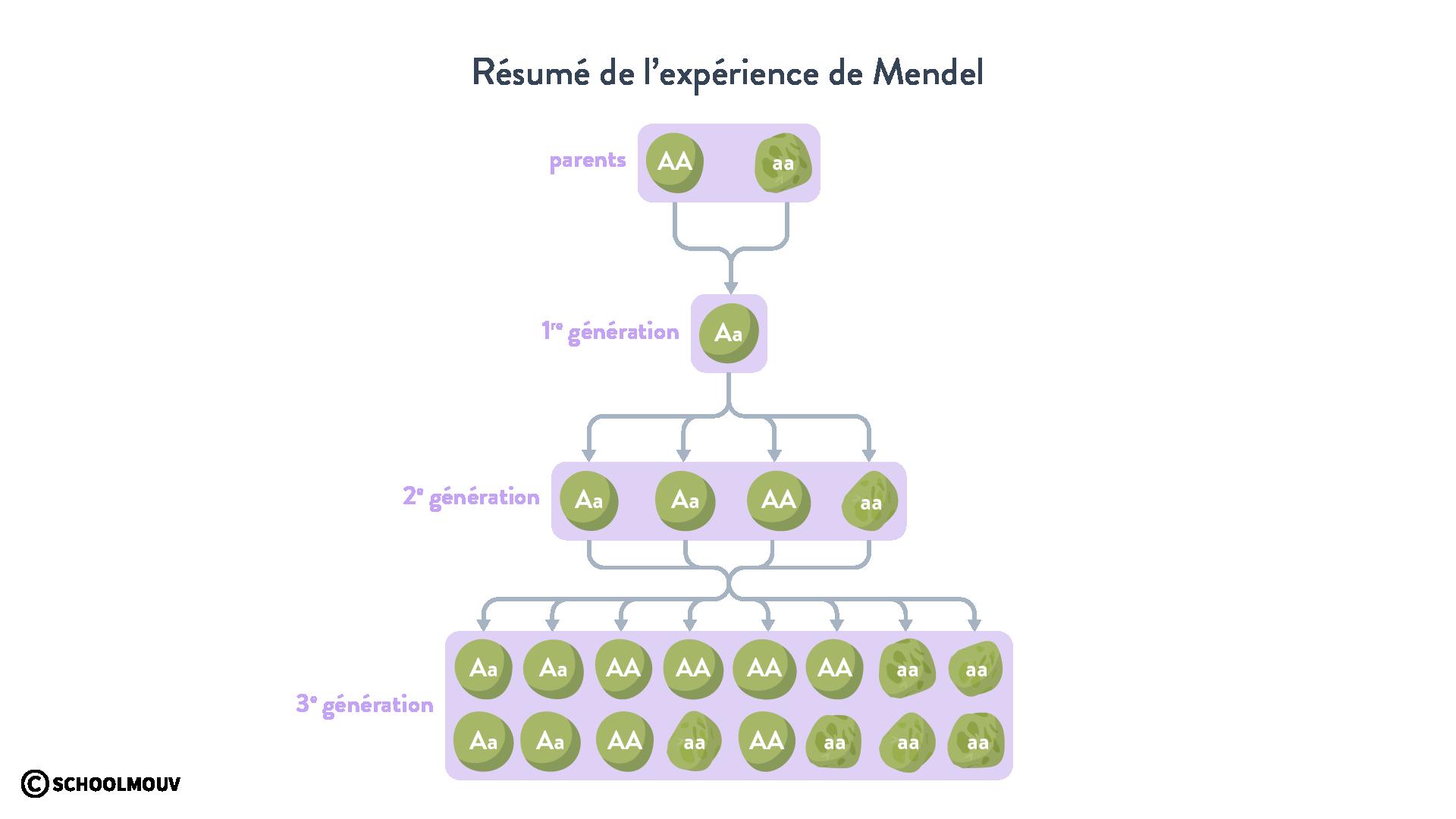 Résumé de l'expérience de Mendel