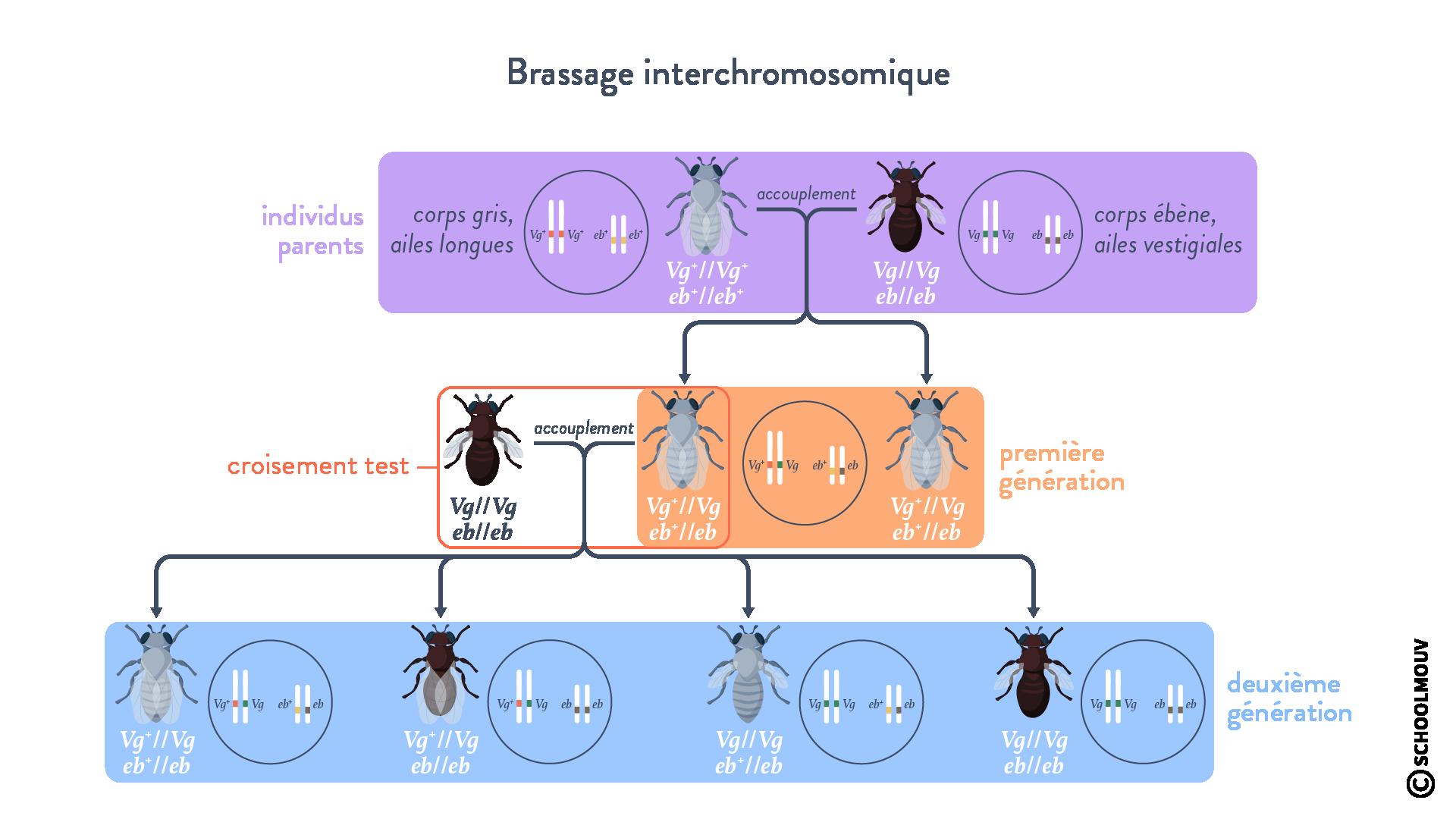 Schéma bilan et représentation sous la forme d'un échiquier de croisement: cas du brassage interchromosomique