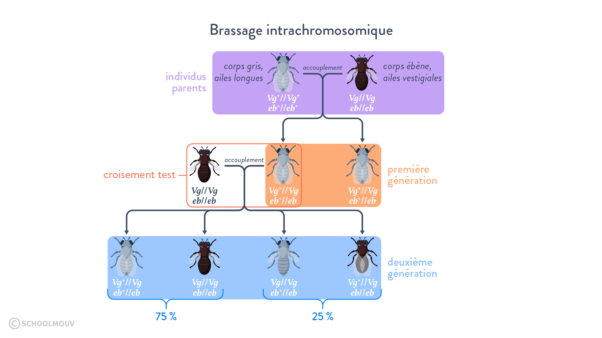 Croisement de drosophiles: mise en évidence du brassage intrachromosomique