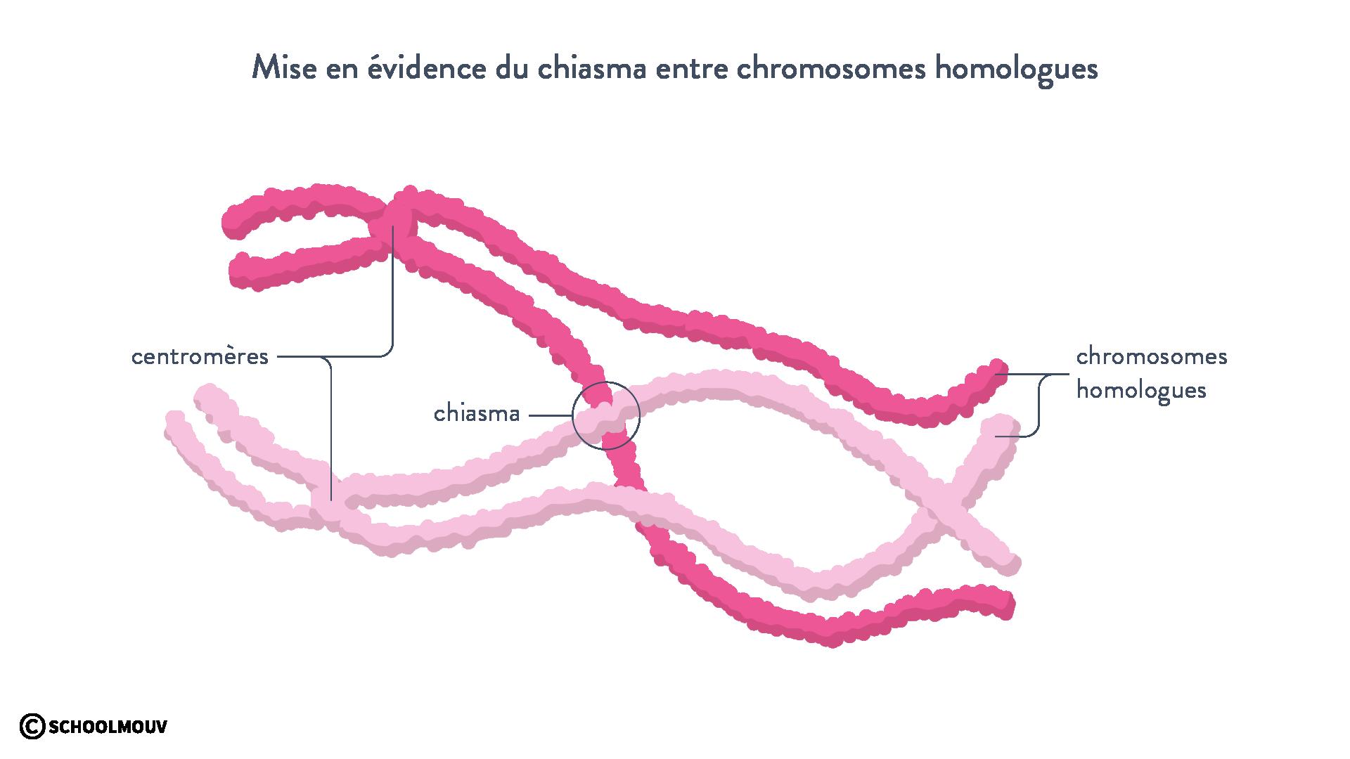 Mise en évidence du chiasma entre chromosomes homologues (observation en microscopie électronique et schéma associé)