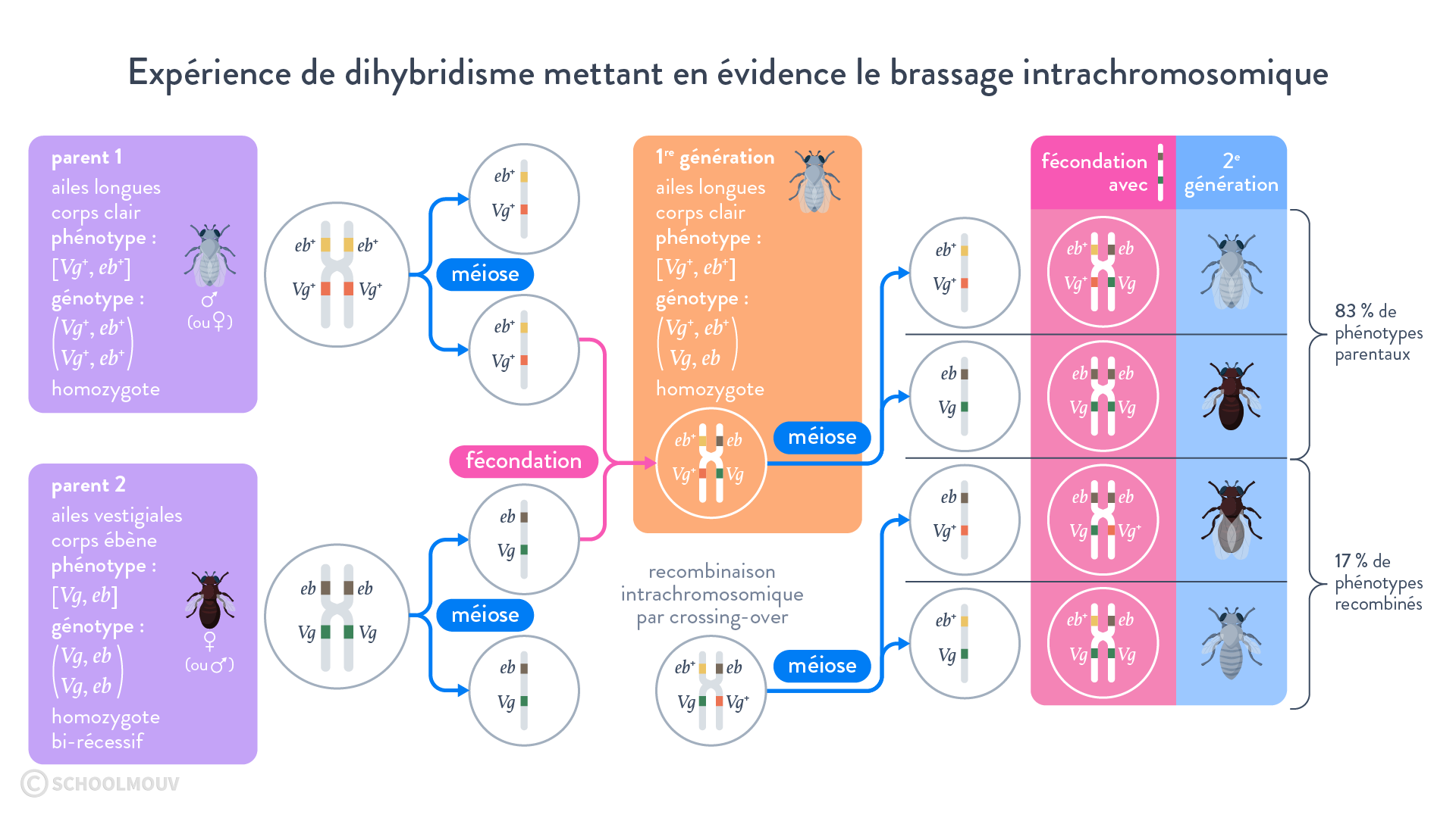 Expérience de dihybridisme mettant en évidence le brassage intrachromosomique