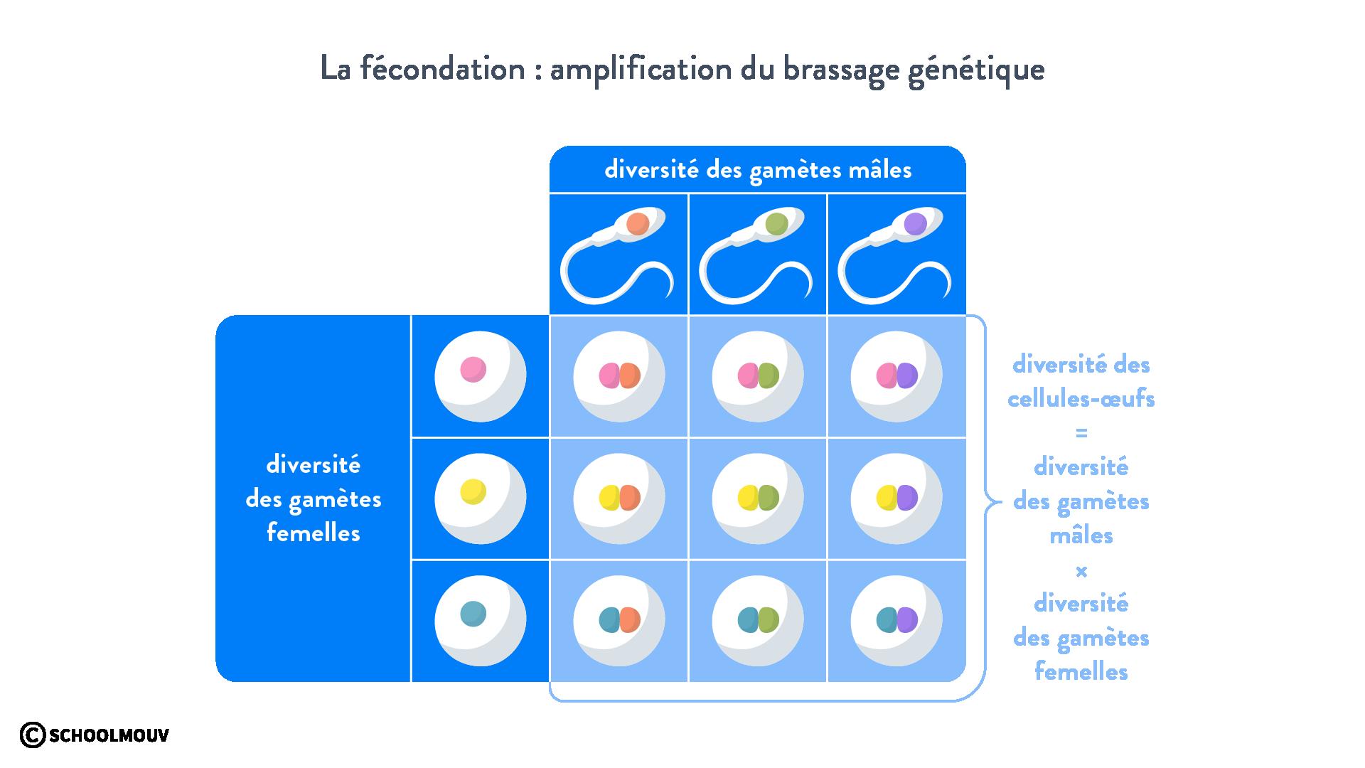 fécondation brassage génétique zygote allèles