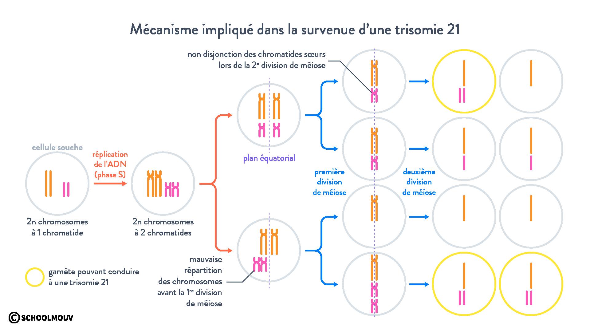 Mécanisme impliqué dans la survenue d'une trisomie21