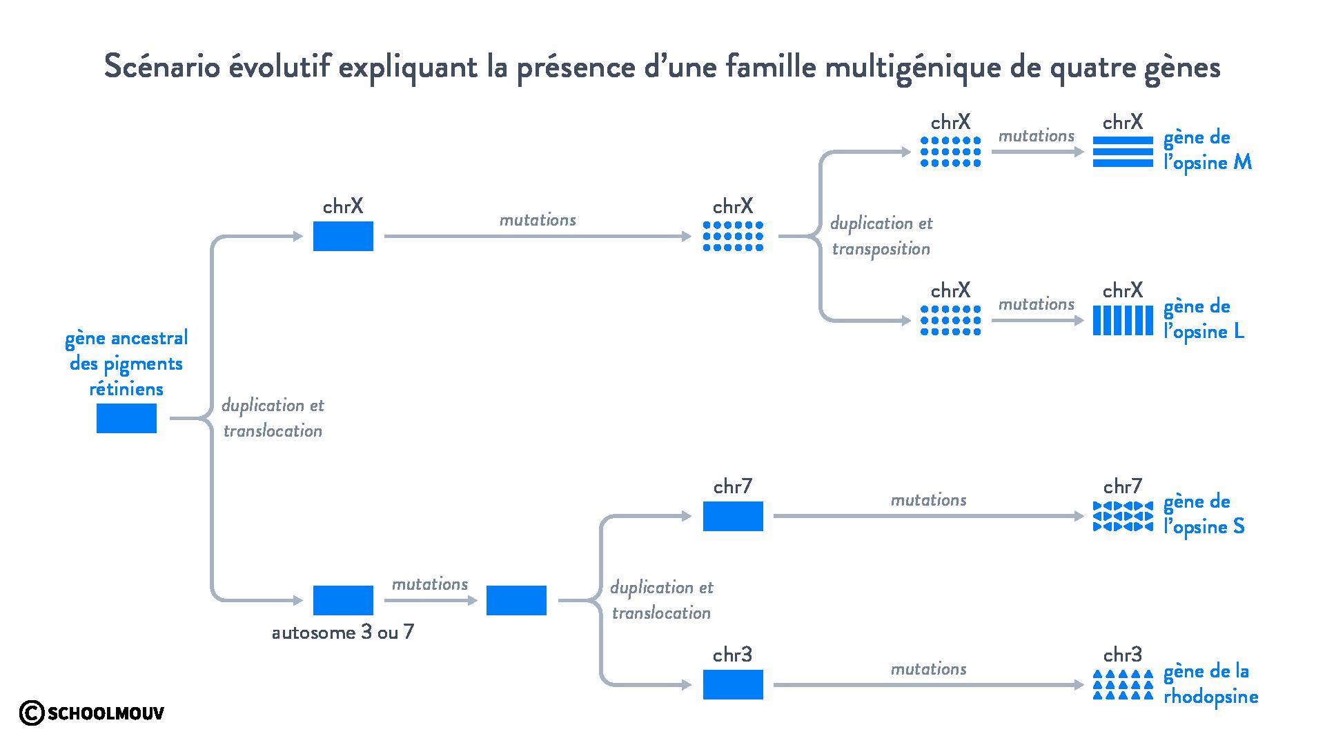Scénario évolutif expliquant la présence d'une famille multigénique de quatre gènes