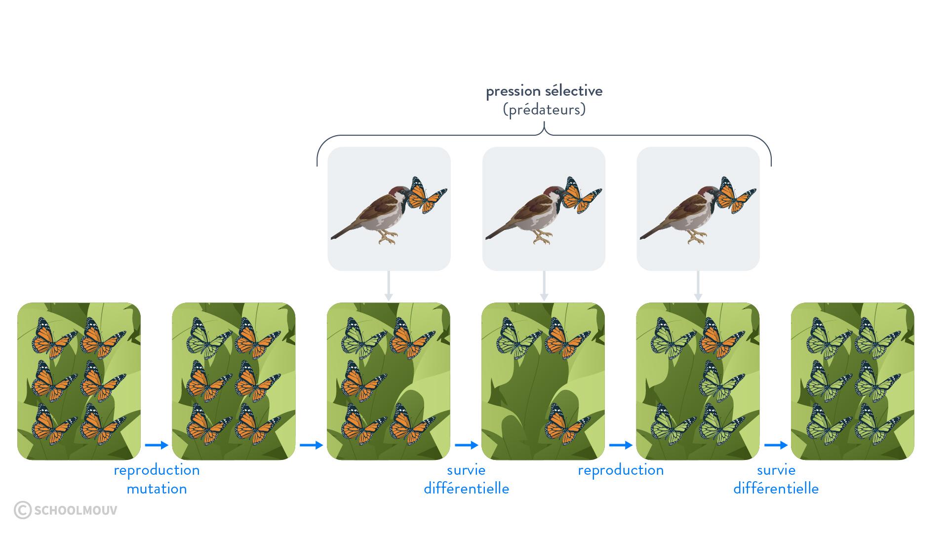 Schéma de la sélection naturelle