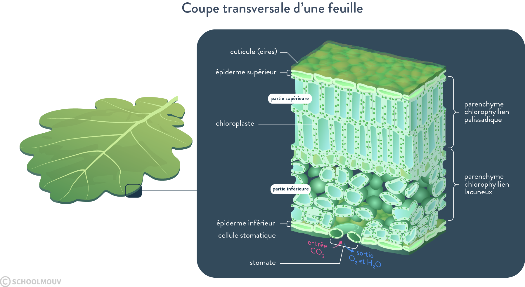 coupe feuille stomate chloroplastes