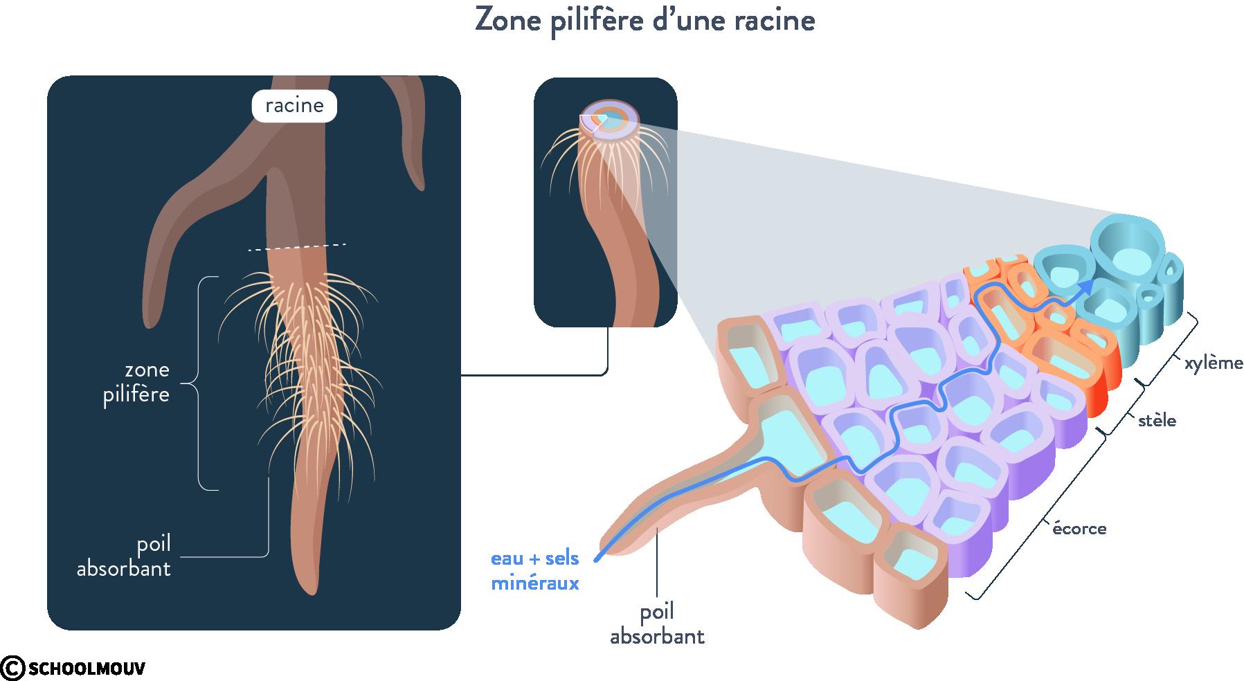 racine zone pilifère poil absorbant