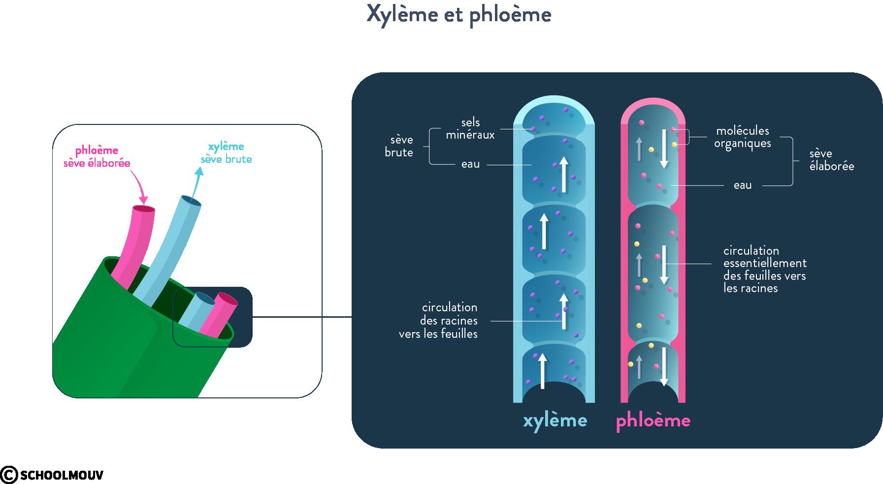 Xylème et phloème