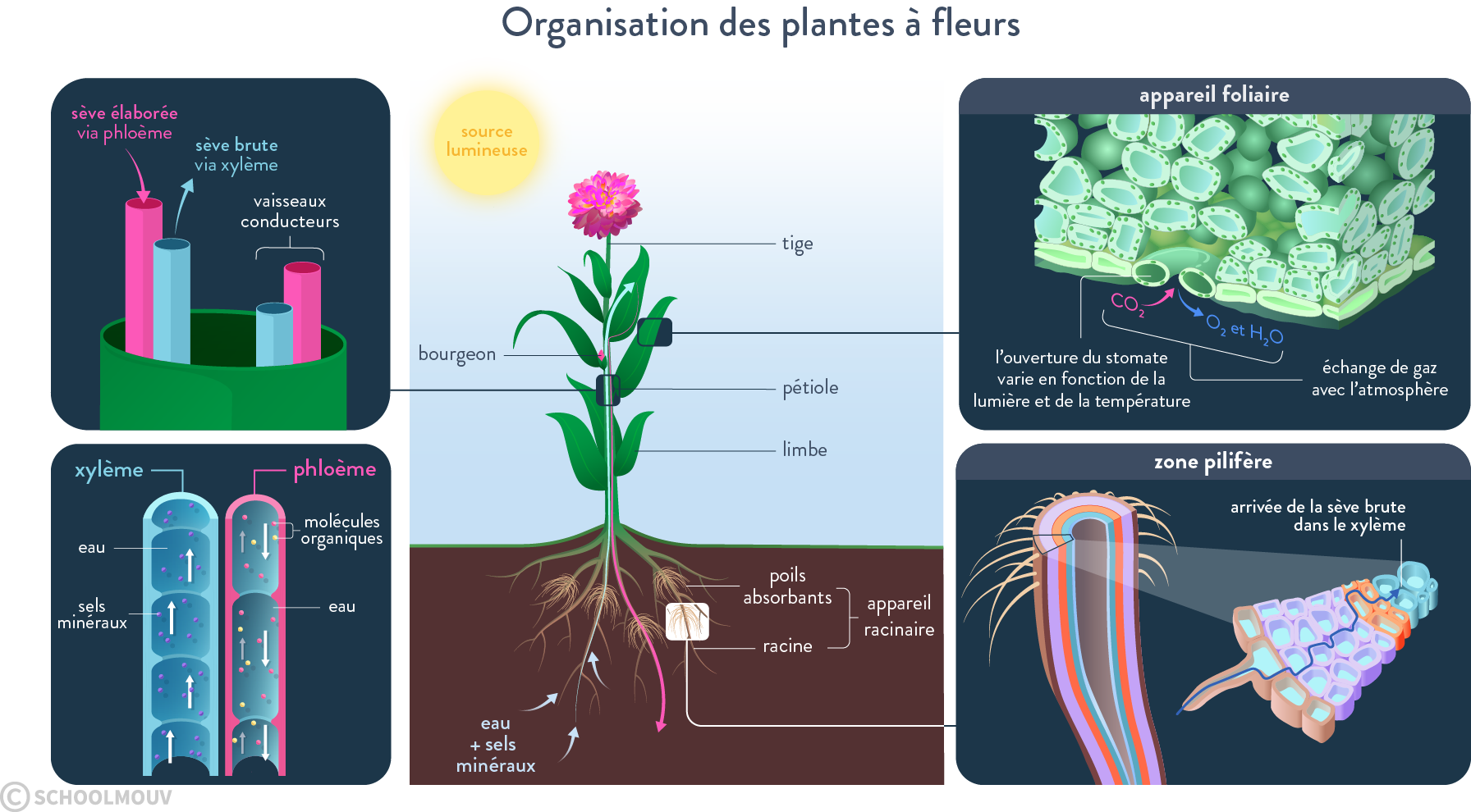organisation des plantes à fleurs