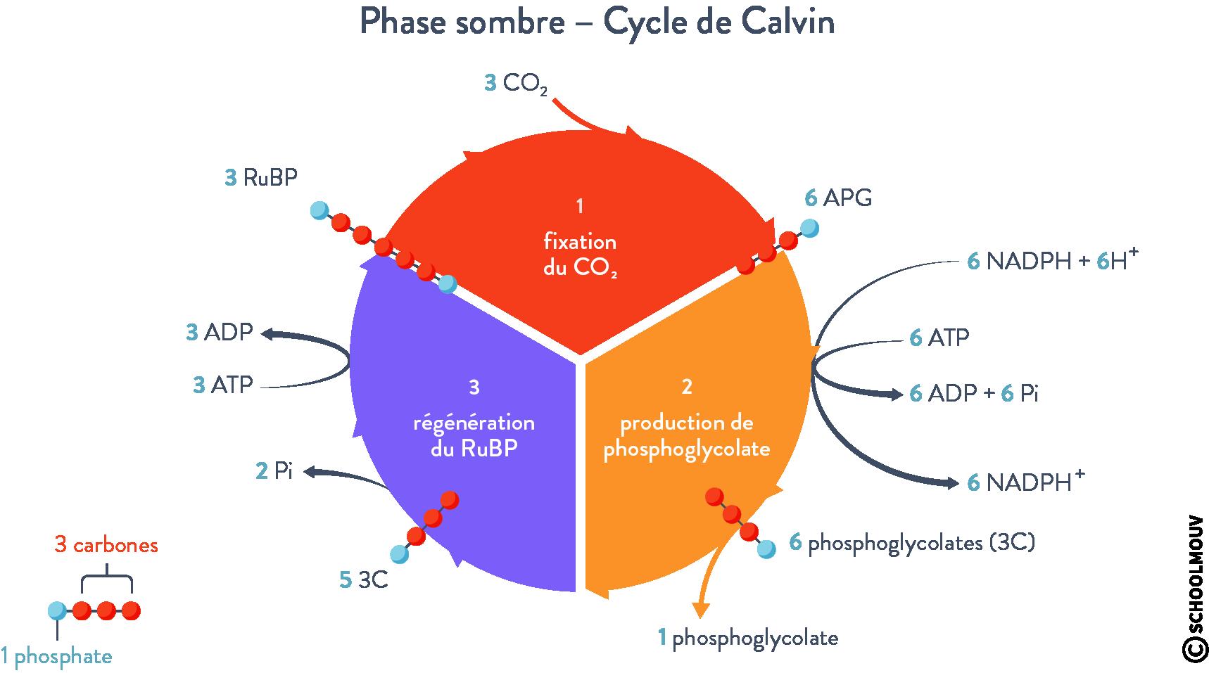 Phase sombre Cycle de Calvin