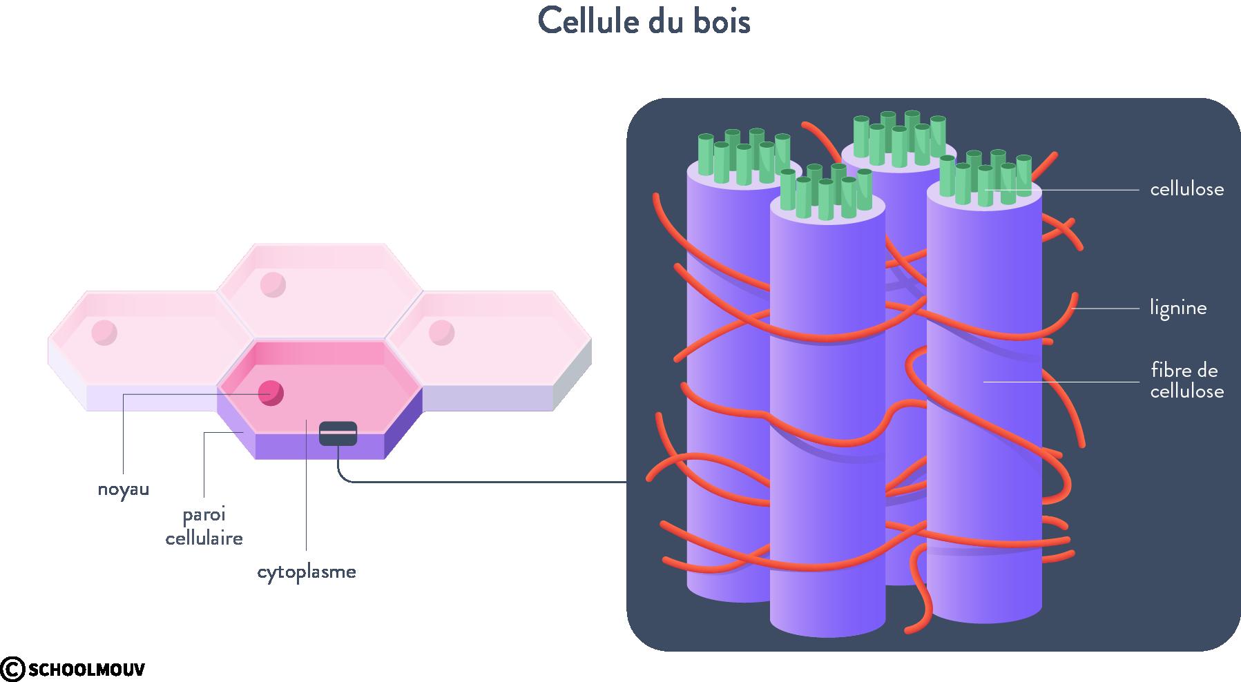 cellule du bois cellulose lignine