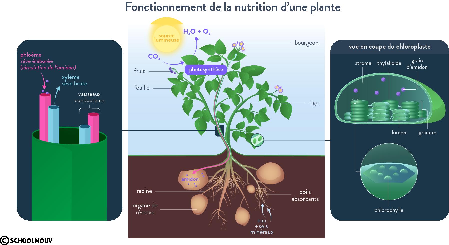 Fonctionnement de la nutrition d'une plante
